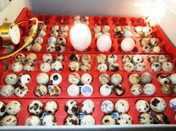 лоток для яиц инкубаторный (от перепелов до гусей)