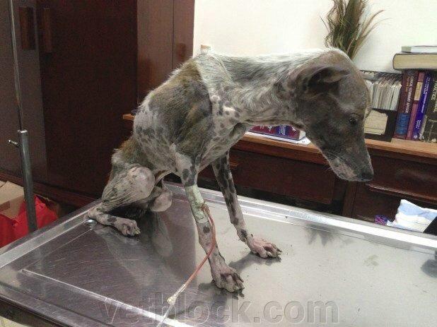 Дирофиляриоз у собак - лапа помощи - фото pic_c01ce56d431ee73560bcfc073cffc80a_1920x9000_1.jpg