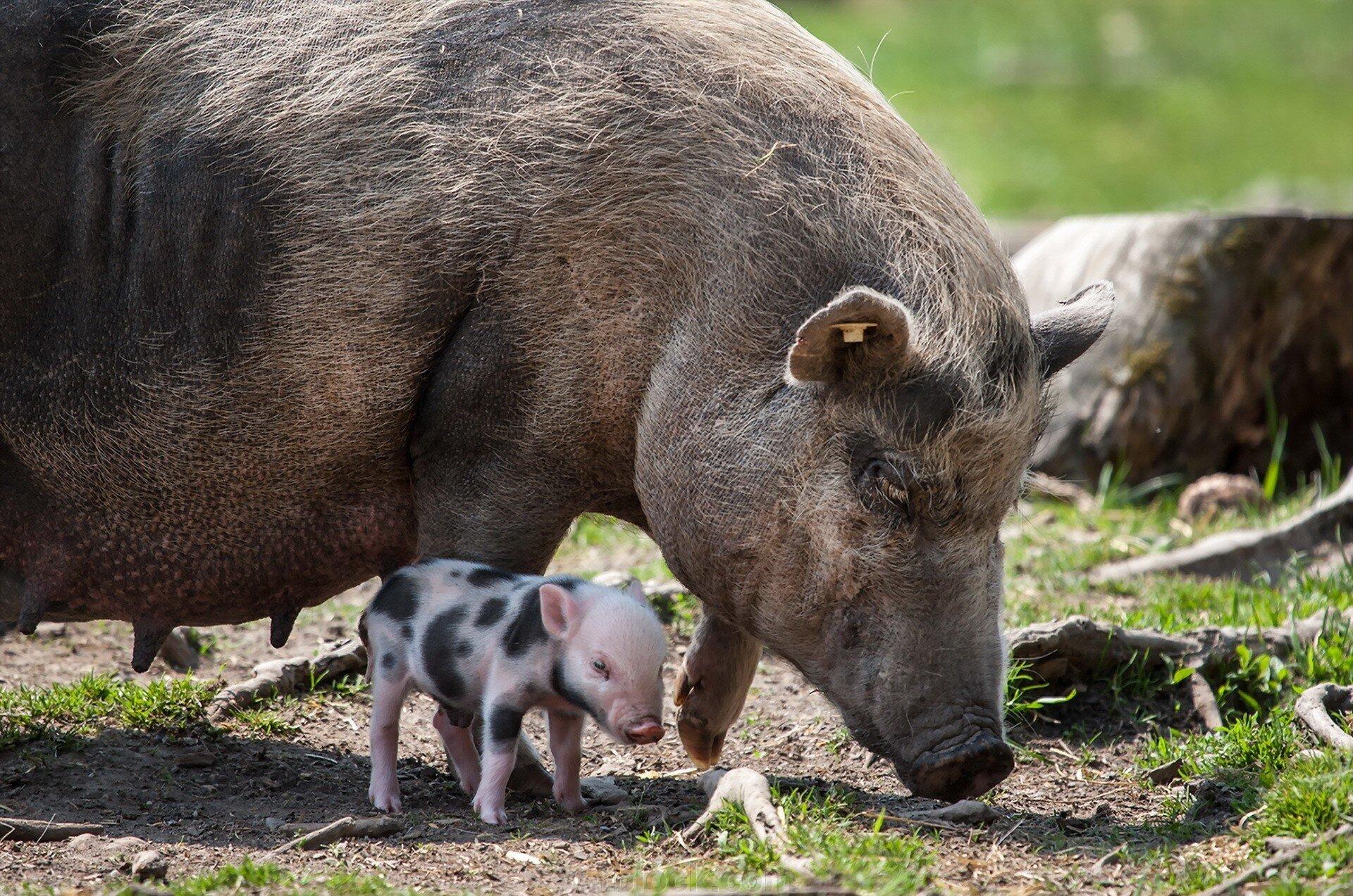 Свинка, свинка, не болей! - фото pic_4798b355d1328ff7ec01f367ce684458_1920x9000_1.jpg