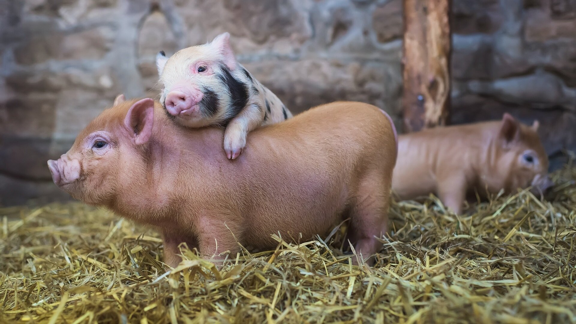 Свинка, свинка, не болей! - фото pic_b3a9bea262add72e238de8529176d2a2_1920x9000_1.jpg