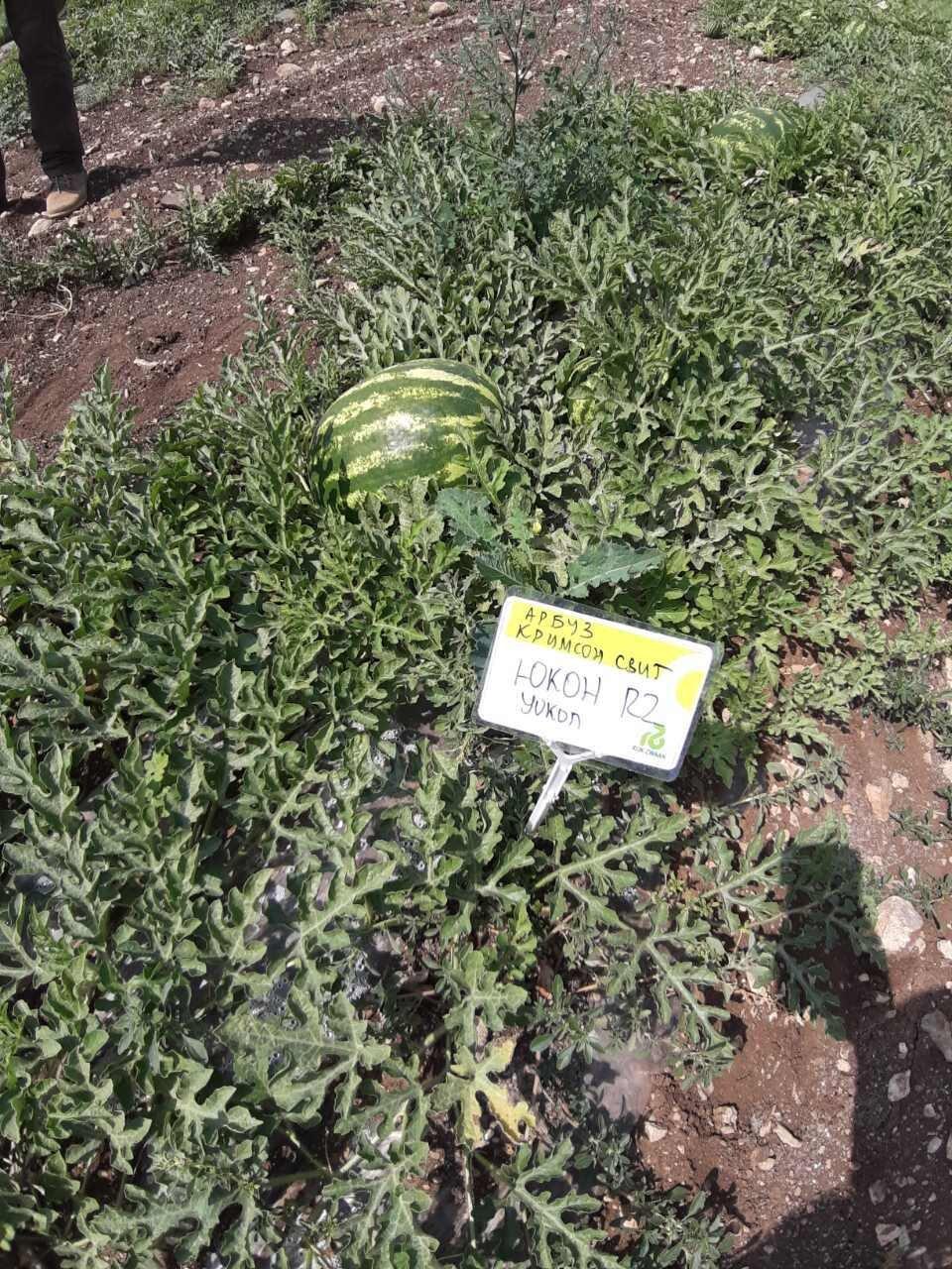 Арбуз Юкон RZ F1. Среднеранний урожайный арбуз с крупными плодами и высоким содержанием сахаров. - фото pic_ffc061c361b08c4843cf5d578d7dacef_1920x9000_1.jpg