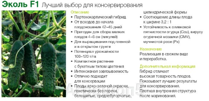 Огурец Эколь F1. 50 семян. Syngenta. Самоопыляемый гибрид для ОГ и ЗГ с букетным типом плодоношения и обильным урожаем. - фото pic_7118a9afc9db1ed9584bf06606b2520e_1920x9000_1.png