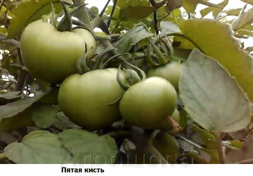 Томат Грифон F1. 50 семян. Nunhems. Голландия. Розовоплодный индет для теплиц. Профессиональные семена - фото pic_f64a1b93760b97a4edfb273da089a11f_1920x9000_1.png
