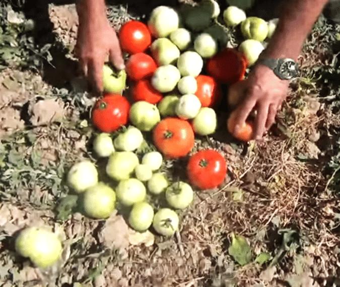 Томат Линда F1. 250 семян. Sakata. Крупноплодный салатный детерминантный томат для выращивания в ОГ. - фото pic_97028d0e38570f379069123f3c1d68e3_1920x9000_1.png