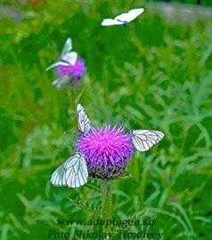 Адаптогены фото цветок