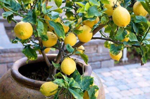 Комнатные плодовые