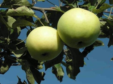 Яблоня - фото Яблоня описание и уход