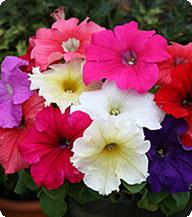 Петуния. Серия Виртуоз. Ruby. 500 драже. Kitano. Япония. Цветы. Крупноцветковая. - фото 91bed640b107d1ffce2795becf1c7bba